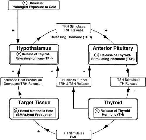 adrenal cortex steroid synthesis