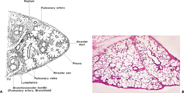 13 normal eye and ocular adnexa histology for pathologists figure 1813 wedge lung biopsy a this stylized diagram is used to depict anatomic landmarks structures depicted in a can be appreciated in an actual ccuart Gallery