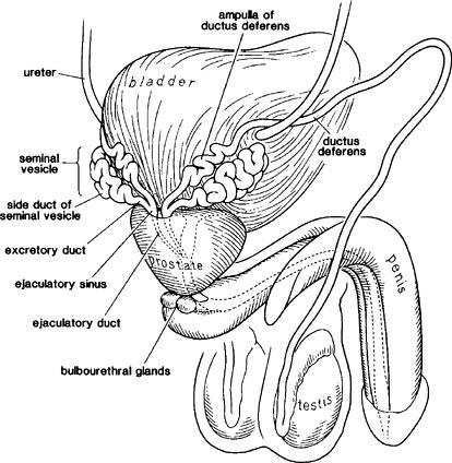ampulla of ductus deferens - 414×424